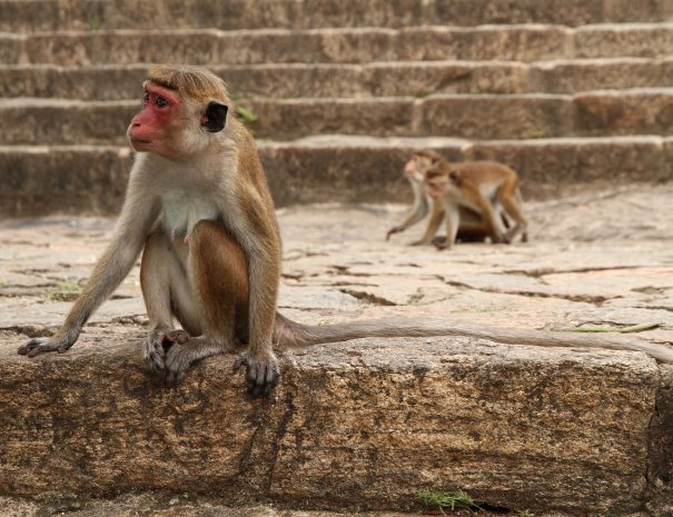 Monkeys in Anaradhapura