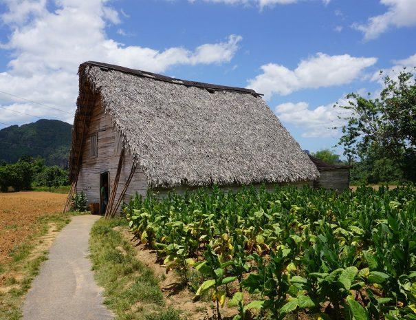 Tobacco plantation Vinales