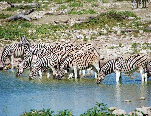 Zebras at Etosha watering hole