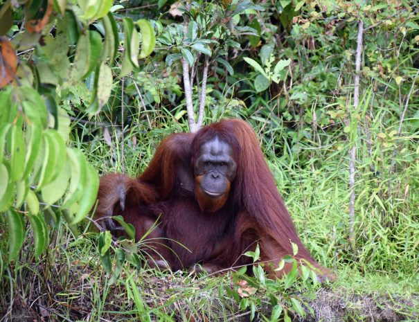 borneo-orangutan2